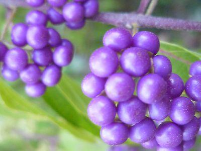 Beauty Violet 20 - BEAUTY BERRY (Callicarpa) -- 20+ seeds. Pink flowers & beautiful purple berries!
