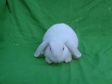 Baby Mini Lop- Pure White
