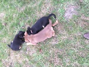 Kelpie pups for sale Exeter West Tamar Preview