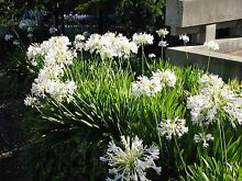 White Agapanthus bare rooted, 200+ available Panton Hill Nillumbik Area Preview