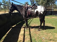 Registered  Appy Gelding Clifton Toowoomba Surrounds Preview