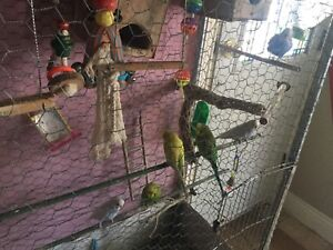 Lovely budgies $ 25each