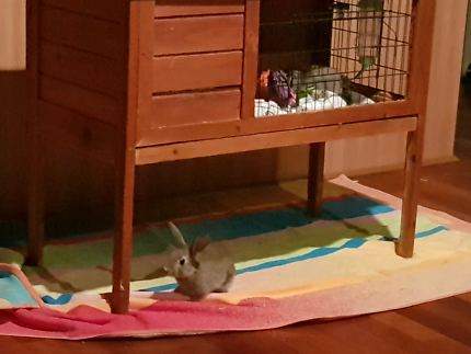 Pet sitting (guinea pigs or rabbits)