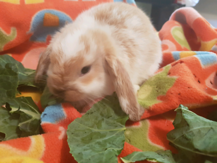 Dwarf Lop Rabbit Kits EXPRESSIONS OF INTETEST