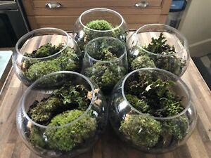 6 beautiful live moss terrarium gardens, ( 5 large , 1 small )