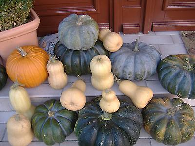 15 Kürbissamen Muscat de Provence, Butternut, Halloweenkürbis, Mischung - Halloween Kürbisse