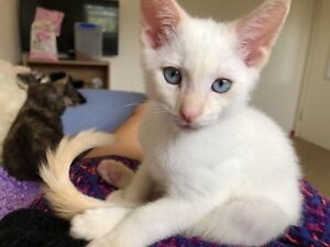 Rescue kittens need a forever home!