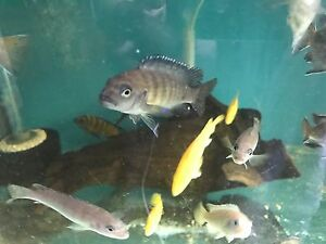 Cichlids colony clear out Peakhurst Hurstville Area Preview