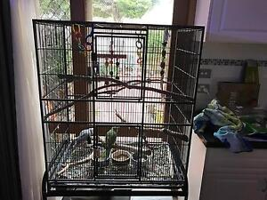 Indian ringneck parrots St Helena Banyule Area Preview