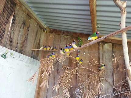 Gouldian Finches Doubleview Stirling Area Preview