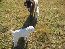 GOATS Babies and Adults - PLEASE CALL ONLY Horsley Park Fairfield Area Preview