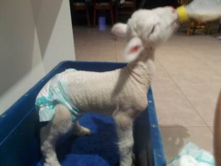 Cute little pet lamb!! Albany 6330 Albany Area Preview