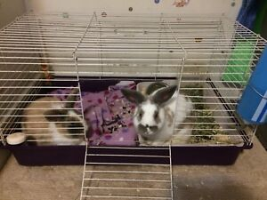 Two holland lop/velveteen bunnies for sale (girls)