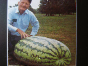 GIANT RUSSIAN WATER MELON SEEDS XXL SIZE FRUITS UPTO 100 KG !!!