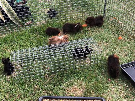 Junior Guinea Pigs for Sale! Ready now!