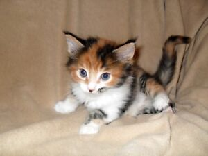 Looking for a calico Maine coon Kitten