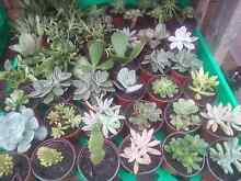 Succulent plants all only $2 each Bidwill Blacktown Area Preview