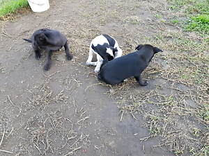 Kelpie X Berder collie pups Richmond Hawkesbury Area Preview