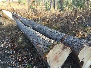 Pine logs/trees for sale