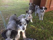 Cattle dog X Mareema pups Rockhampton Surrounds Preview