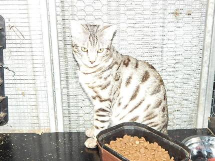Pure Breed Silver Bengal Cats Bethania Logan Area Preview