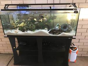 African Cichlids Fish include Fish tank for sale Greenfield Park Fairfield Area Preview