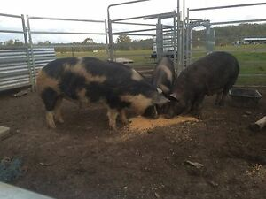 Boar for sale 14mths old Lanitza Clarence Valley Preview