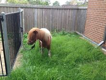 MINIATURE HORSES Villawood Bankstown Area Preview