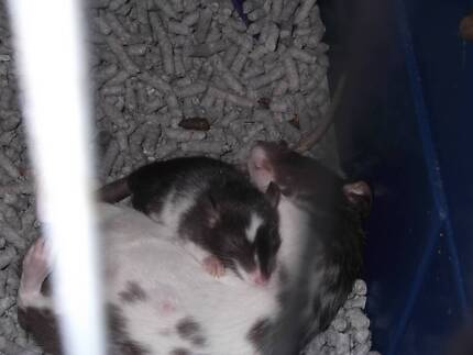 CUTE BABY RATS: With On Going Support.