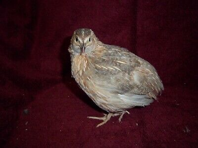 246 Free Coturnix Quail Hatching Eggs Silvers Italians Tuxedo Free Shipping