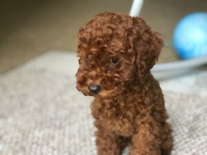 Toy Poodle Puppy - 12 weeks Old