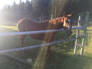 14yr old quarter horse mare