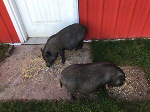 Pair of Pot belly pigs