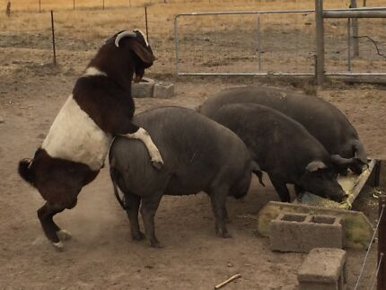 Barrow 7mth old Pig.  Large Black x Berkshire Moorabool Area Preview