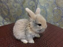 Most Beaty color cute girl dwarf lop baby bunny Chatswood Willoughby Area Preview
