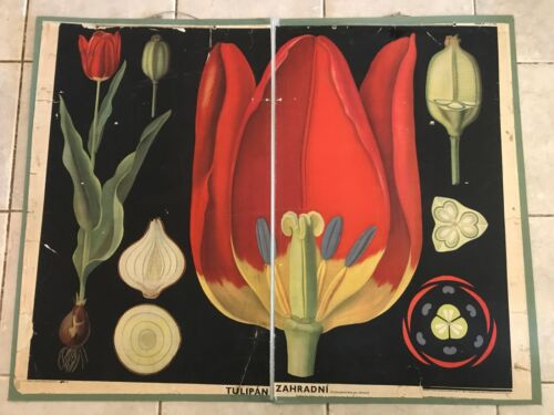 Original botanical vintage school chart of Tulip, Zejbrlík