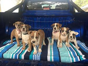Purebred American Staffy Pups Somerset Area Preview
