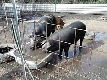 Pigs for sale Ingham Hinchinbrook Area Preview