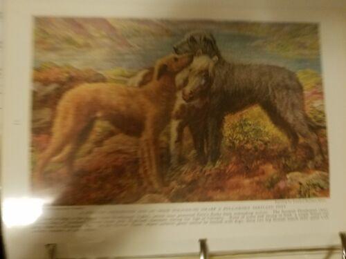 EH Miner DEERHOUND & IRISH WOLFHOUND bookplate 1937 National Geographic Magazine