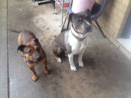 **##Free to a GOOD home American Staffie & English Stafie##** Balgownie Wollongong Area Preview