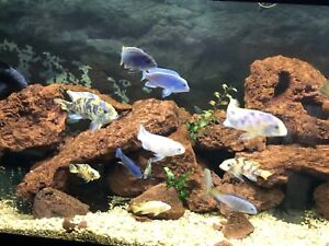 RARE MBUNA AFRICAN CICHLIDS FOR SALE!!
