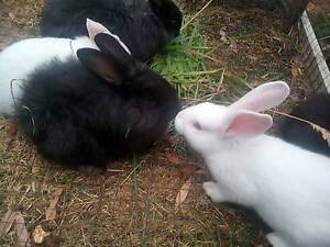 Two month old British Giant rabbits for sale Dover Huon Valley Preview