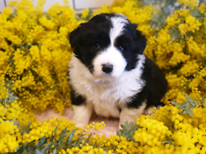 Puppies For Sale Vic