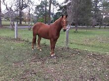 Appaloosa mare 6yrs 14.2h rare one of a kind Brisbane City Brisbane North West Preview