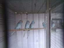 2 pure blue indian ring-neck Dandenong Greater Dandenong Preview