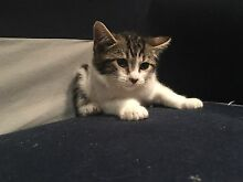 2 month old kittens for adoption !! East Melbourne Melbourne City Preview