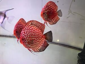 AA grade Forest Red eagles discus fish Como South Perth Area Preview