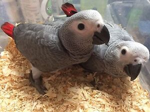 """Reserved! African Grey baby """"female"""" 1 available"""