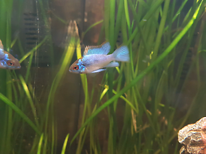 Electric Blue Ram Forest Lake Brisbane South West Preview