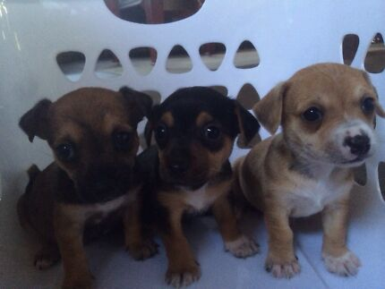 Chihuahua x foxy x Jack Russell Goodna Ipswich City Preview